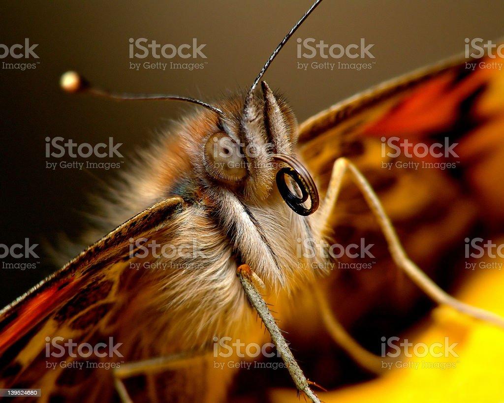 A macro shot of a butterfly's proboscis royalty-free stock photo