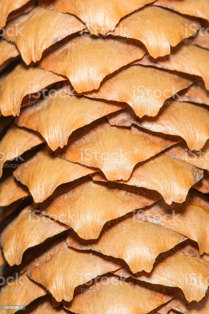 Macro shot of a cedar husk stock photo