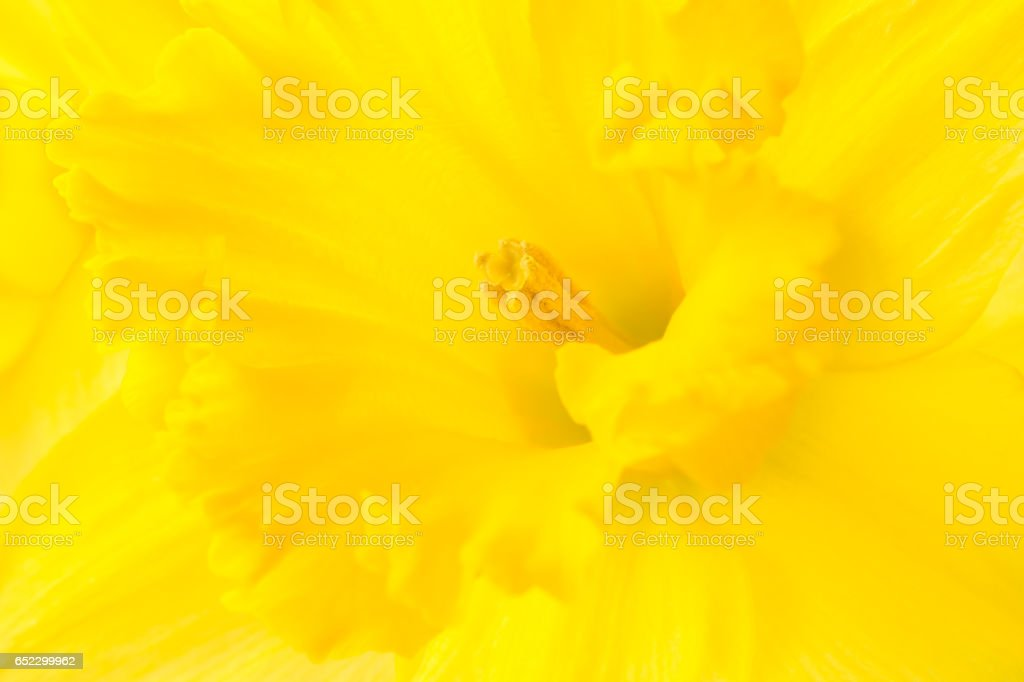 Macro Shot of a Daffodil Head stock photo