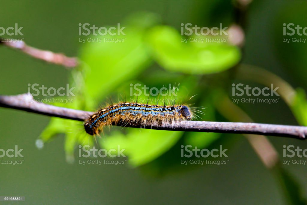 A macro shot of a forest tent caterpillar with leaves in the background appearing to look like a frog stock photo