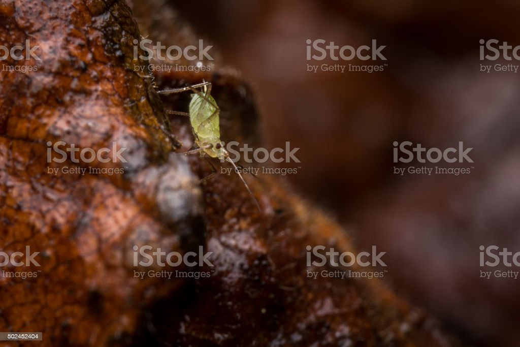 Macro shot of a green aphid on a dead leaf. stock photo