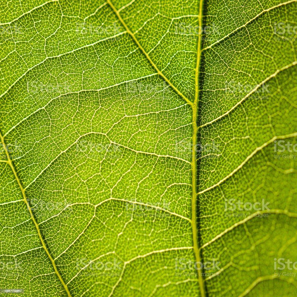 Macro shot of a green leaf. royalty-free stock photo