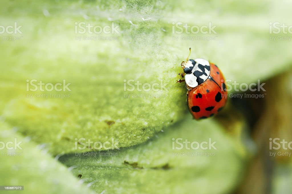 Macro shot of a ladybug royalty-free stock photo