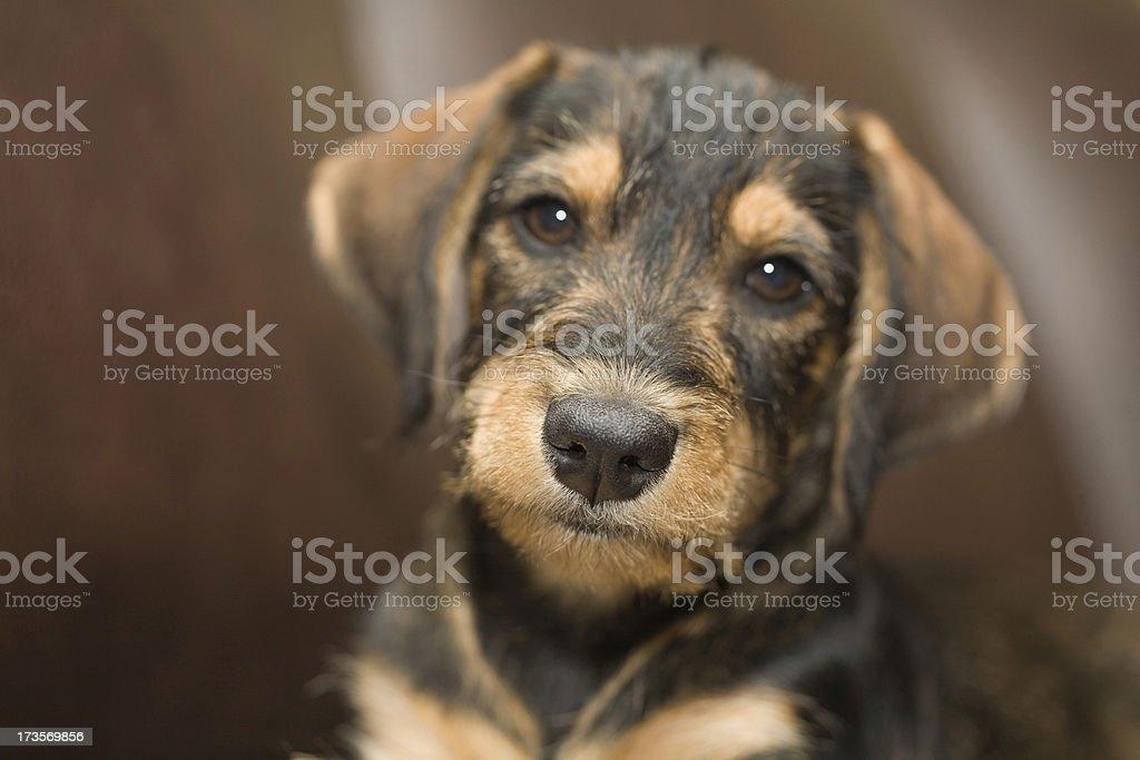 Macro shot of a mixed breed puppy. stock photo