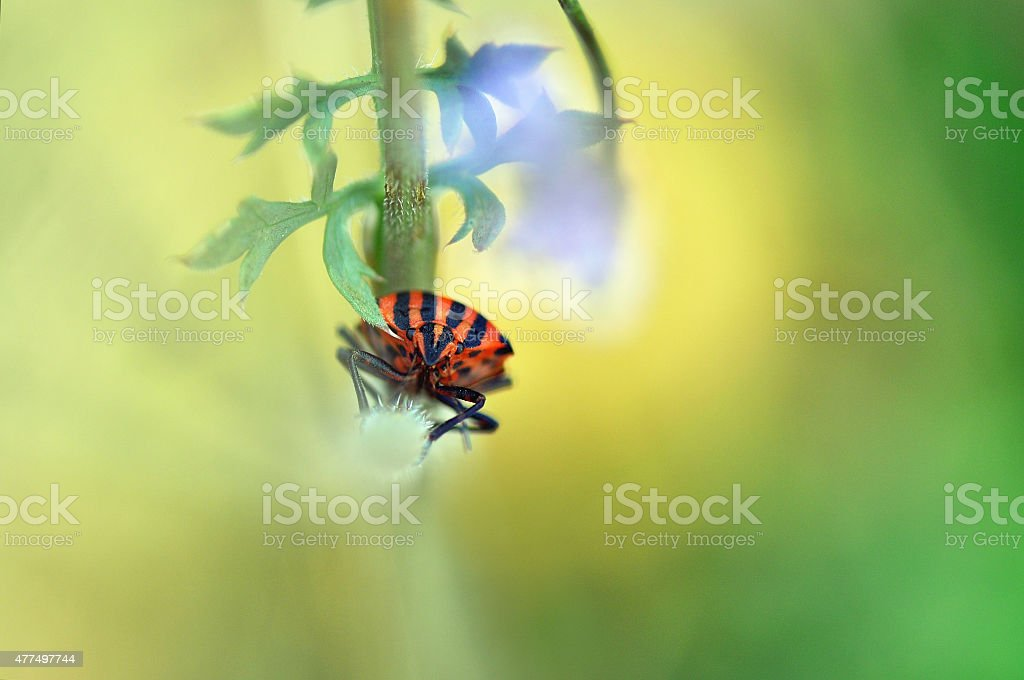 Macro shot of a red and back striped shield bug stock photo