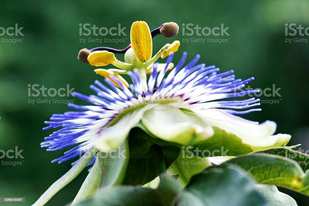 Macro shot of a single blue passion flower stock photo