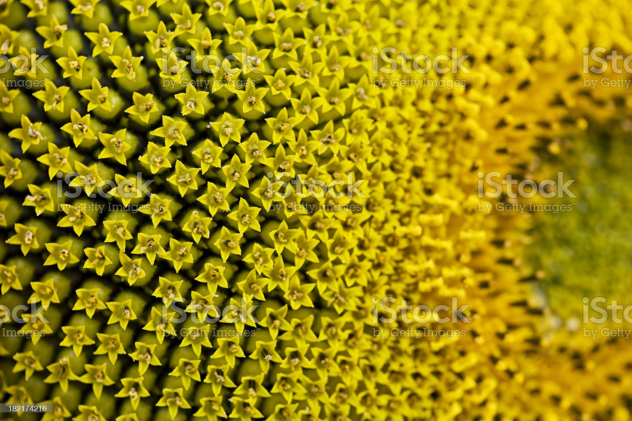 macro shot of a sunflower royalty-free stock photo