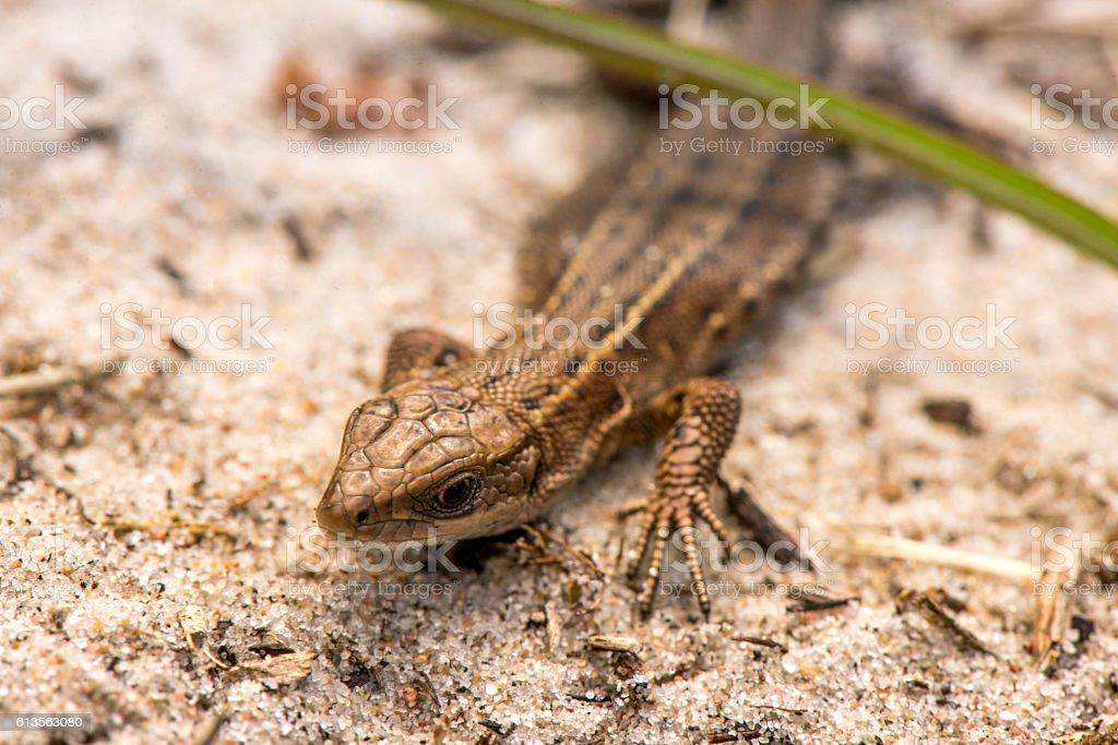 Macro shot of a tiny lizard stock photo