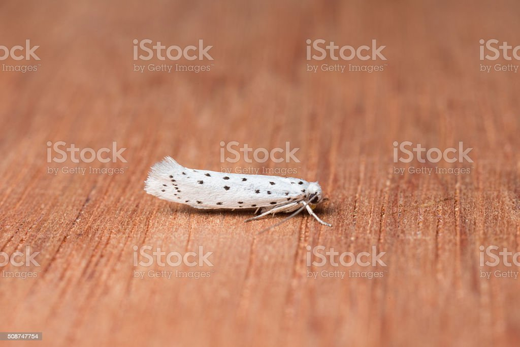 Macro shot of an Ermine Moth on piece of wood. stock photo