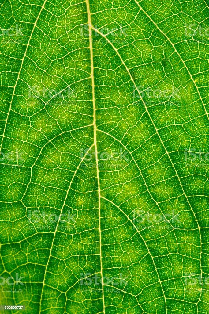 Macro shot of beech leaf stock photo