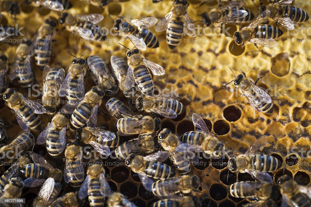 Macro shot of bees swarming on a honeycomb royalty-free stock photo