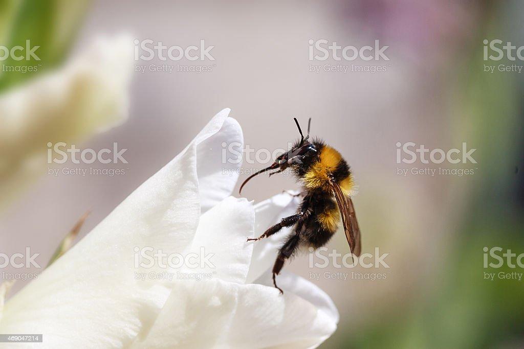 Foto macro de abelha na flor, Amarelo Preto foto royalty-free