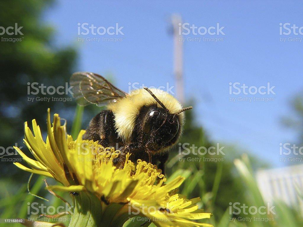 Macro Shot of Bumblebee royalty-free stock photo