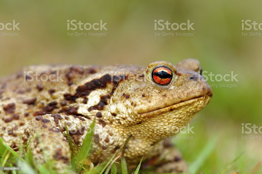 macro shot of common toad stock photo