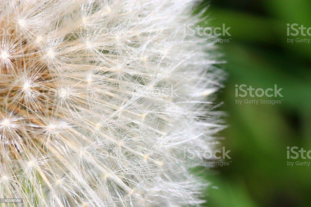 Macro shot of dandelion stock photo