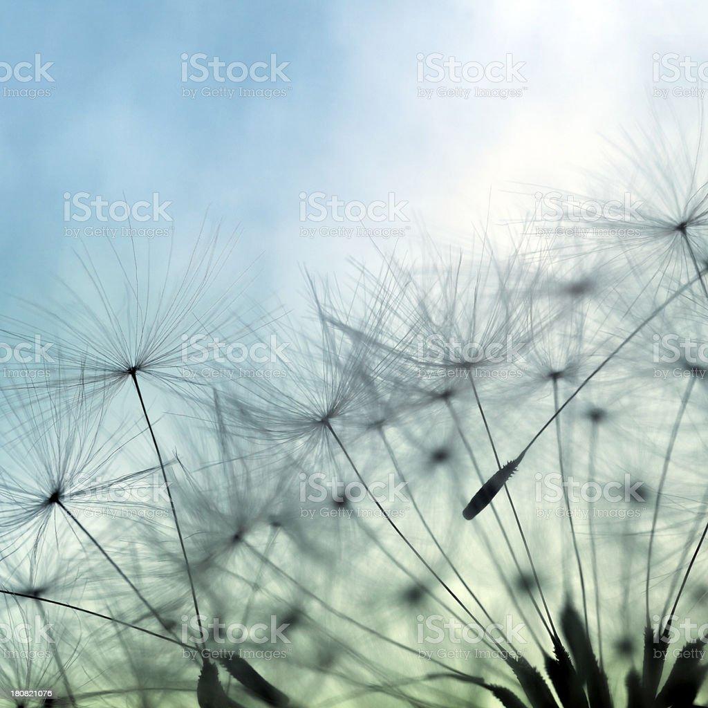 Macro Shot Of Dandelion Seed stock photo