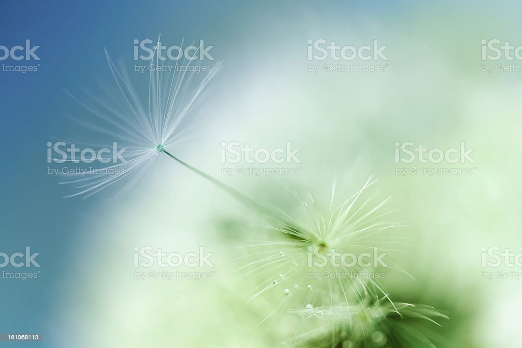 Macro Shot Of Dandelion Seed With Water Drops royalty-free stock photo