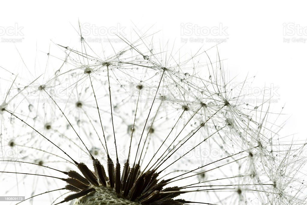 Macro Shot Of Dandelion With Water Drops royalty-free stock photo