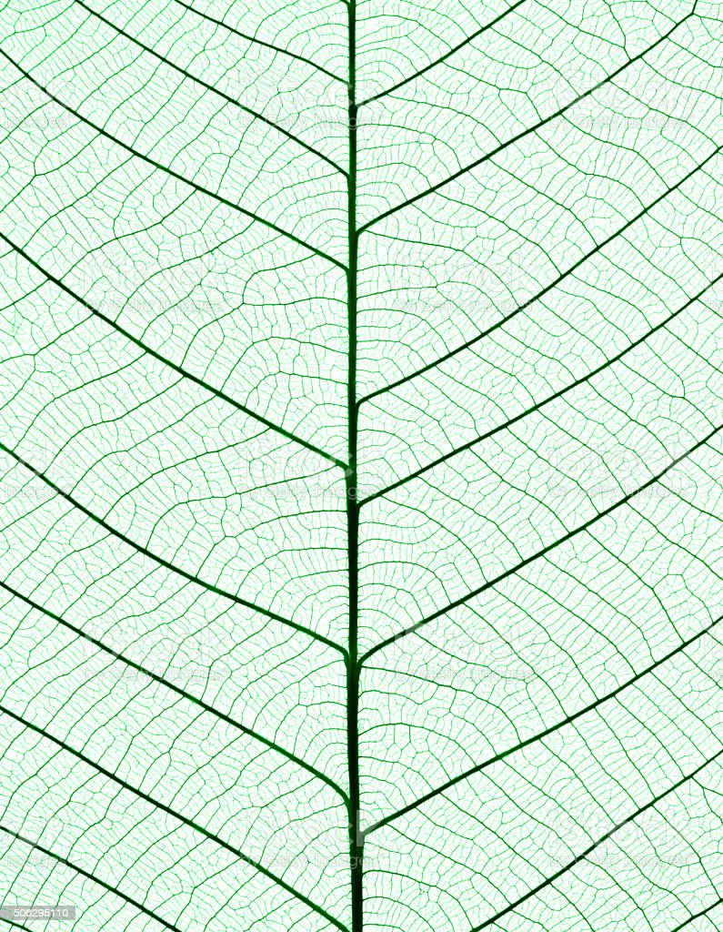 Macro shot of green leaf vein skeleton on white background stock photo