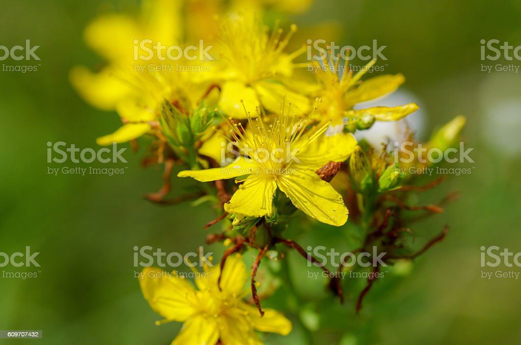 Macro shot of Hypericum flower on a blurred background stock photo