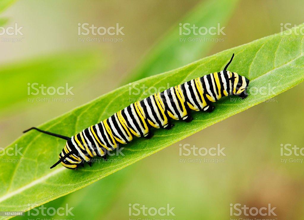 Macro shot of Monarch caterpillar on a milkweed leaf stock photo