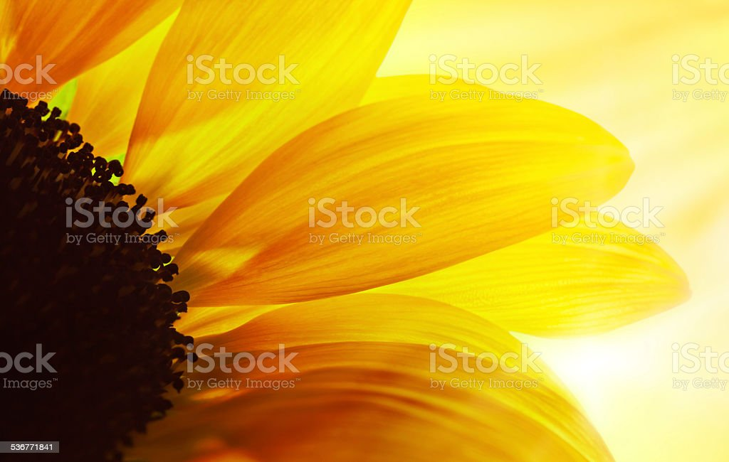 Macro Shot Of Sunflower stock photo
