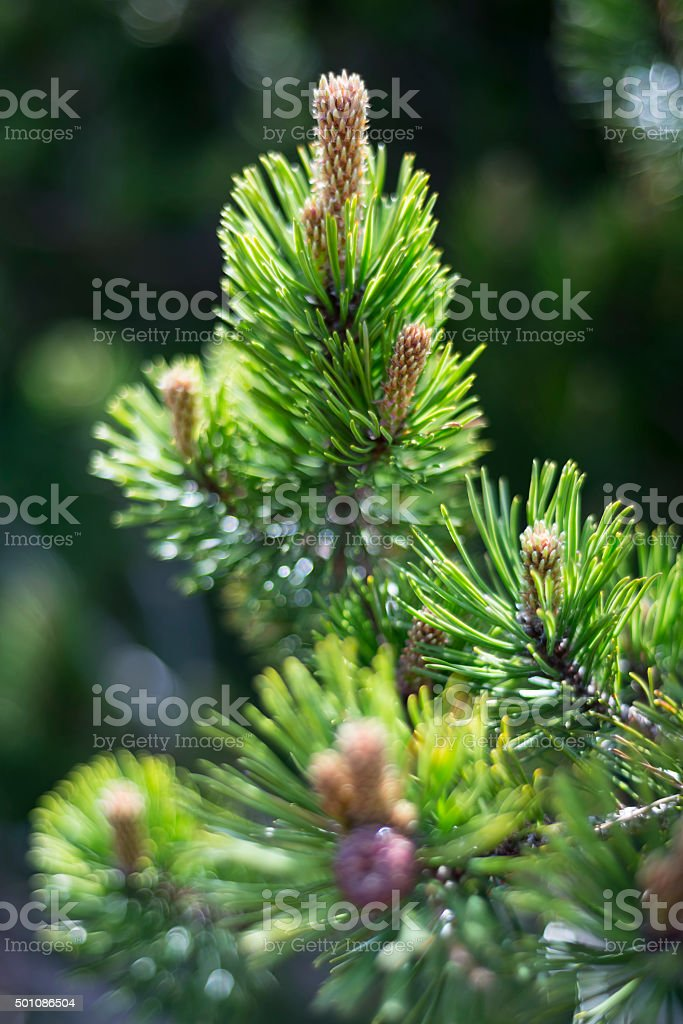 Macro shot of the blossom of a mountain pine stock photo