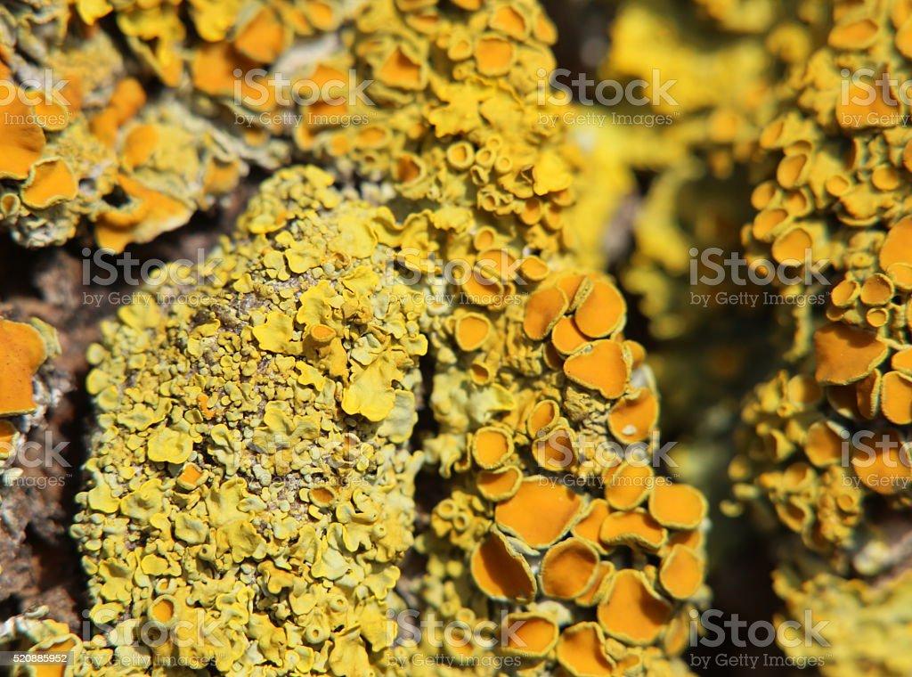 Macro shot of the common orange lichen (Xanthoria parietina) stock photo