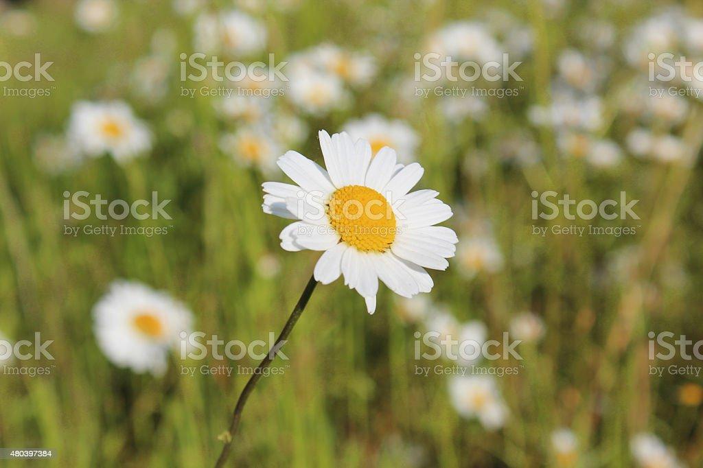 Macro shot of the oxeye daisy stock photo