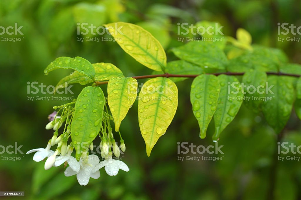 Macro shot of white flowers are fragrant (Wrightia religiosa Benth.) stock photo