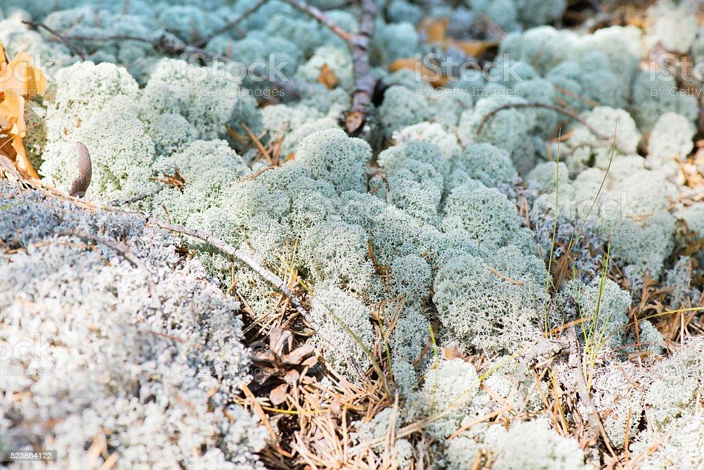 Macro shot of white reindeer moss stock photo