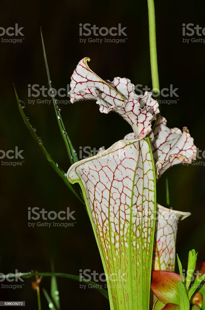 Macro side view of White Top Pitcher plant trumpet stock photo