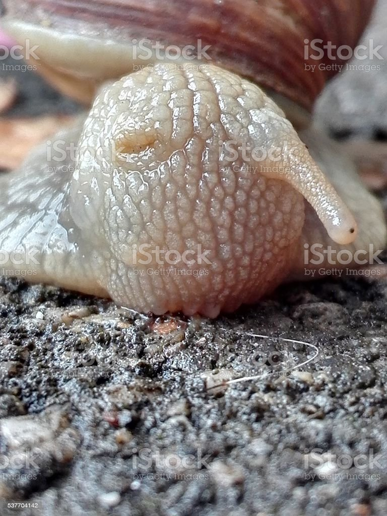 Macro Snail stock photo