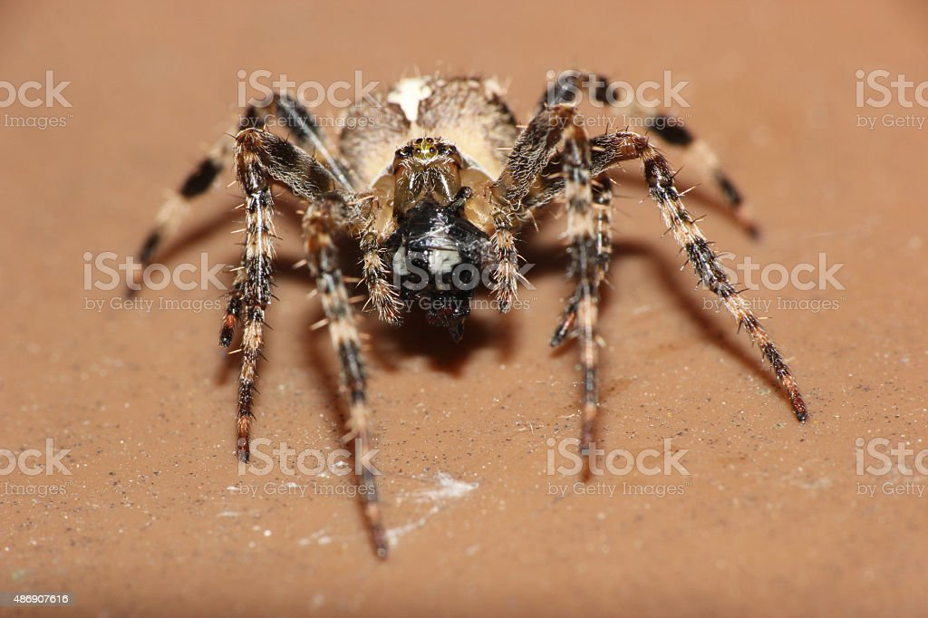 macro spider close up eating a trapped fly stock photo