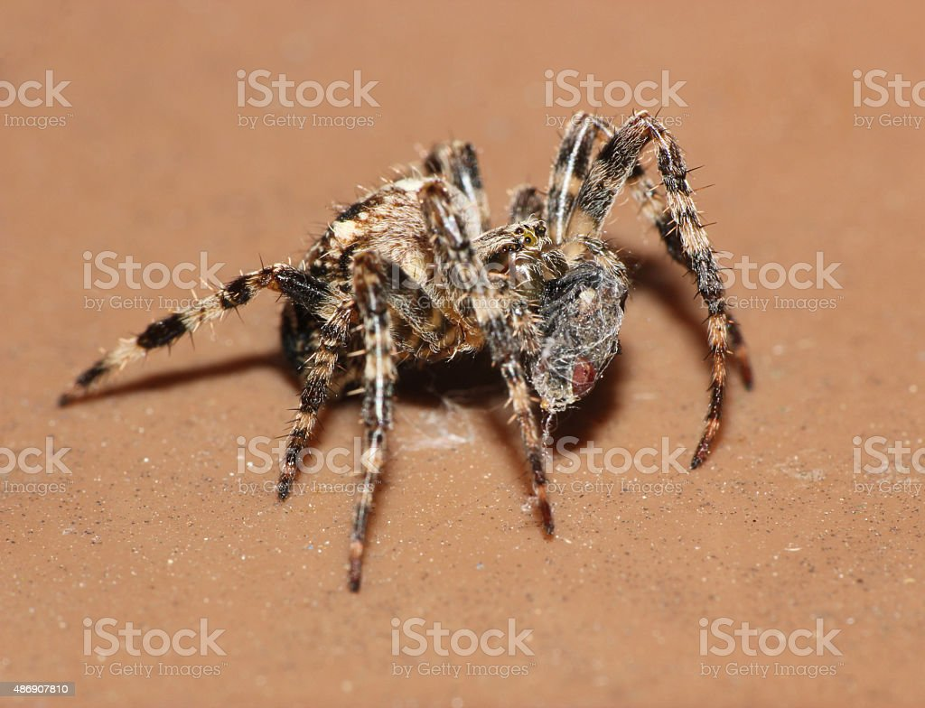 macro spider eating a trapped fly stock photo