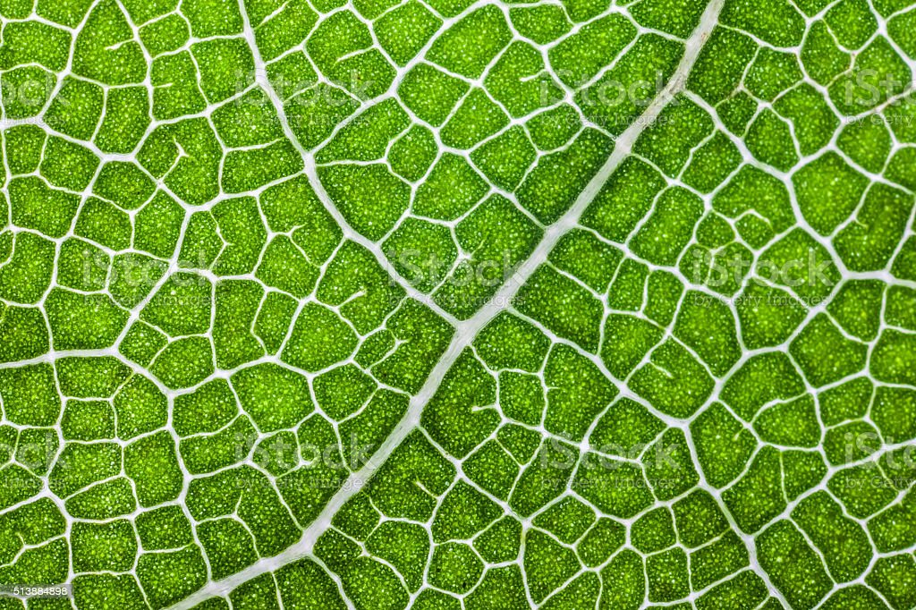 macro structure of green Laurel leaf background stock photo