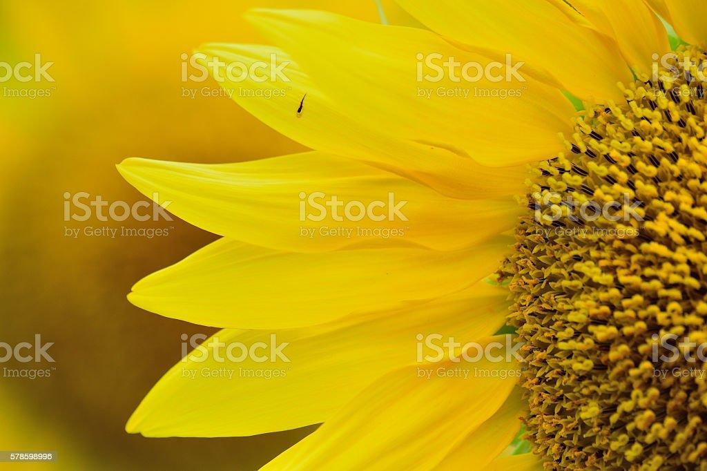 Macro Sunflower background with bokeh stock photo