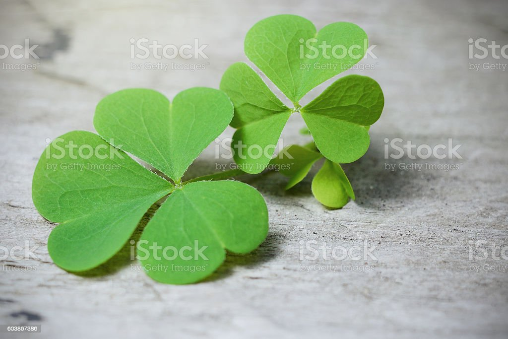 Macro Three leaf clover on rustic wooden table. Shamrock plant stock photo