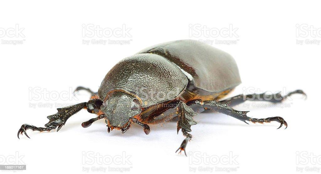 macro unicorn beetle isolated on white stock photo