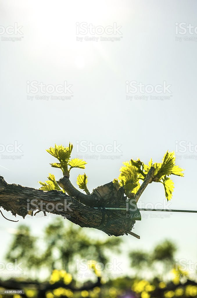 macro vertical vine branch royalty-free stock photo