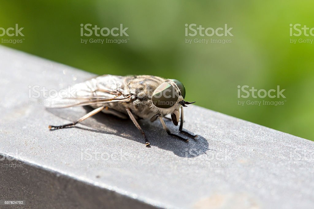 Macro view of a horsefly stock photo