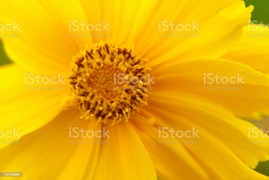 Macro view of a yellow flower royalty-free stock photo