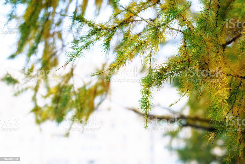 Macro view of larch tree branch and needles stock photo