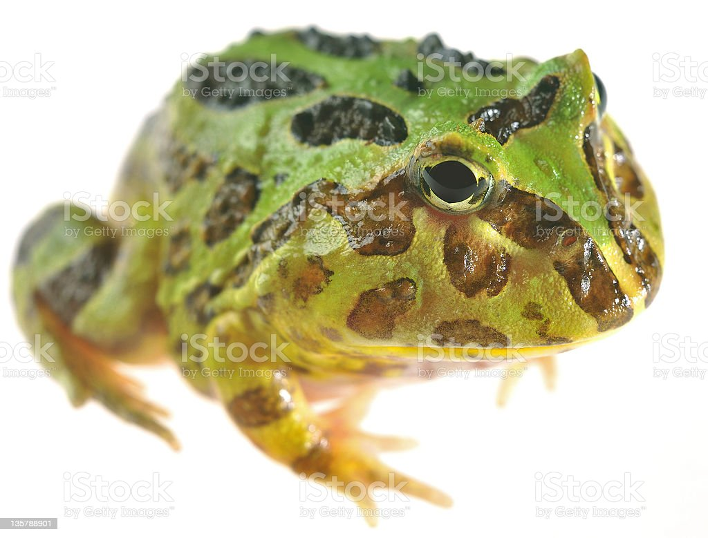 Macro view of Pacman frog stock photo