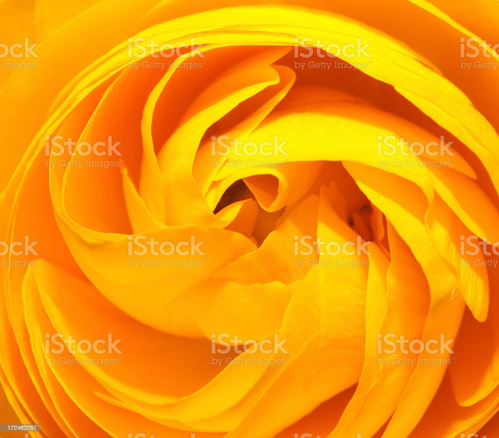 Macro view of yellow ranunculus flower royalty-free stock photo