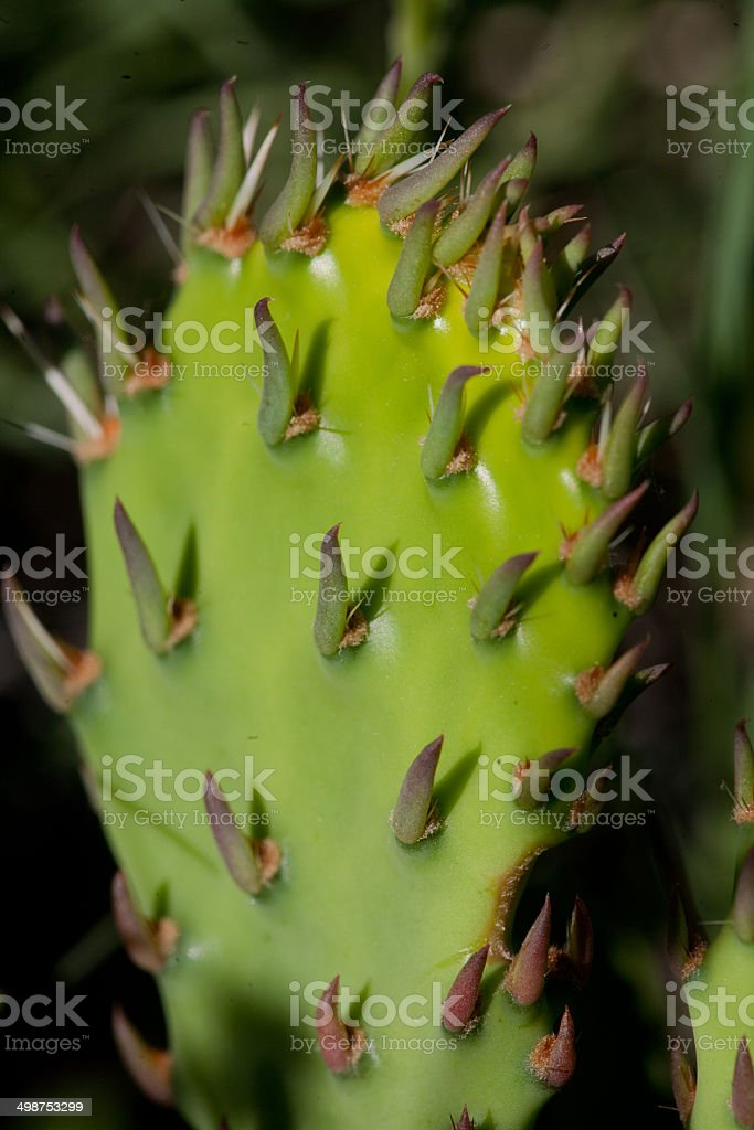 macro view, prickly pear cactus sprout royalty-free stock photo