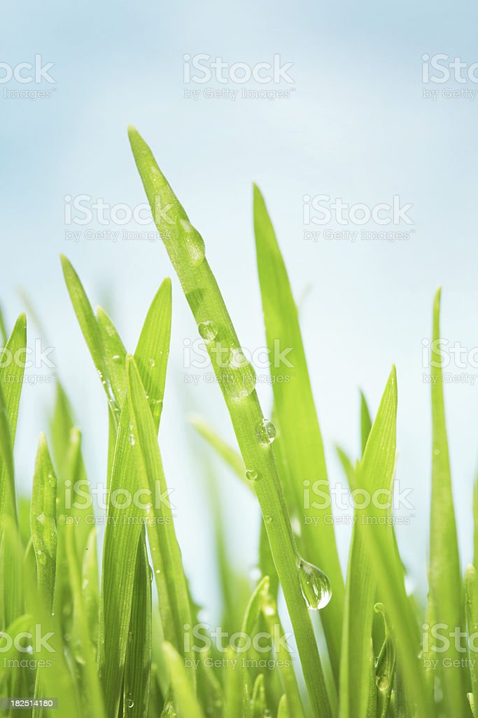 Macro water drops on green grass royalty-free stock photo