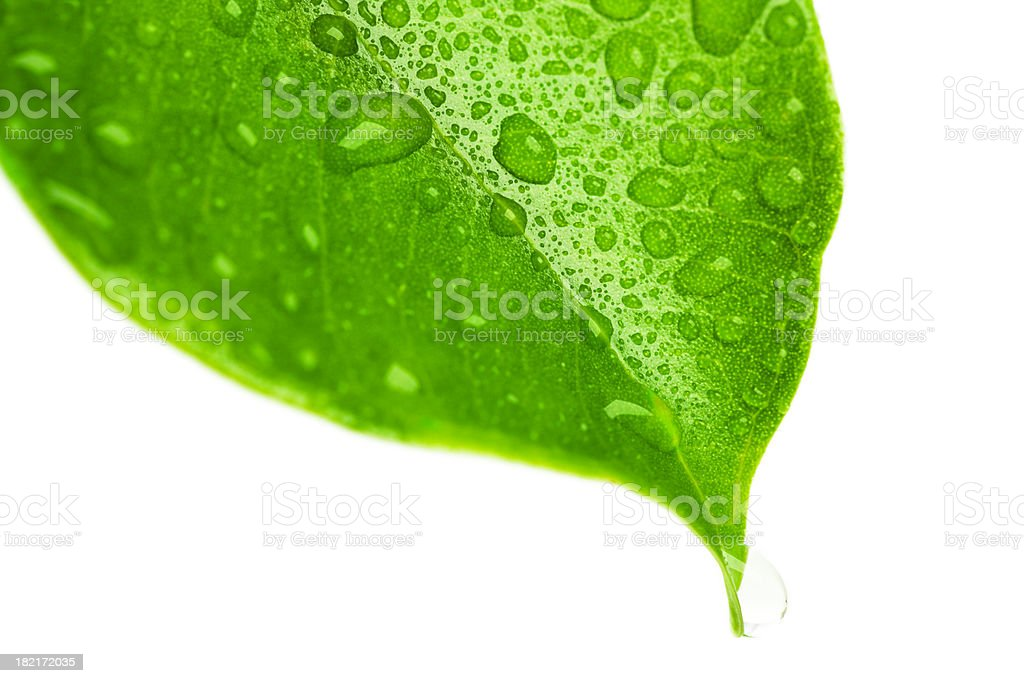 Macro wet leaf detail royalty-free stock photo