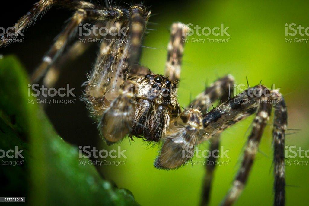 Macro Wolf Spider stock photo