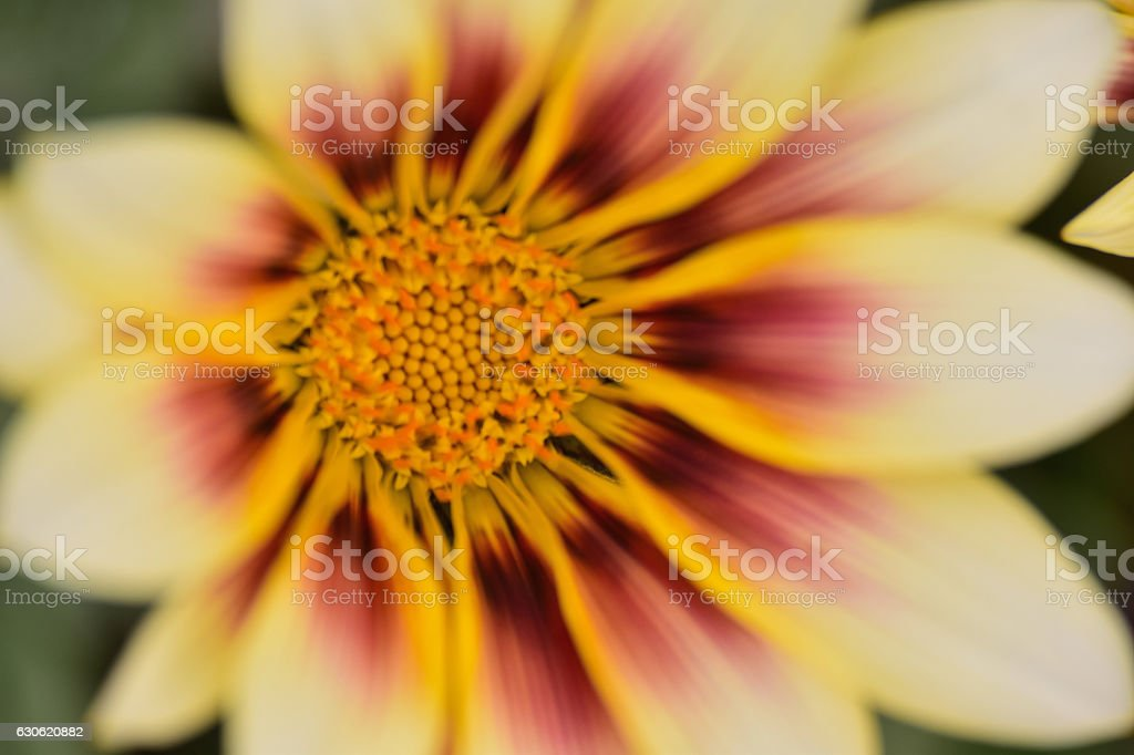 Macro yellow & brown aster flower in nature stock photo